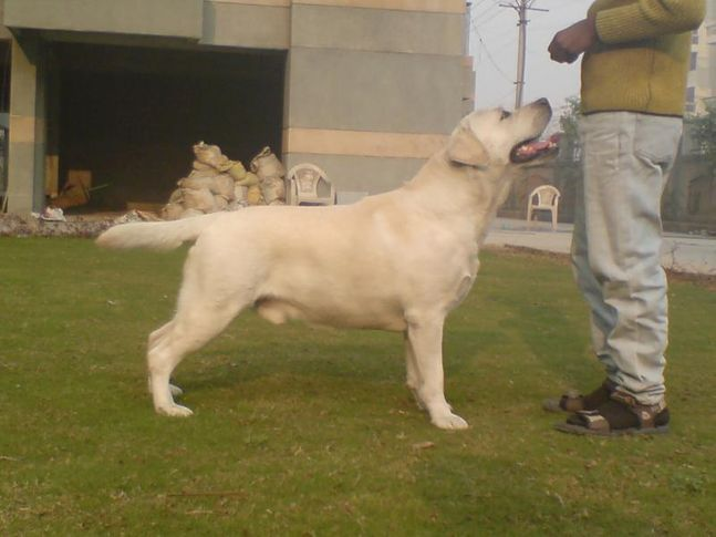cheema labradors, BIS.Ind.Ch.Kilstron call me bond for Chenmos, DogSpot.in