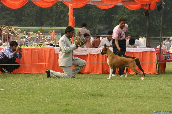 Boxer, Boxer, DogSpot.in