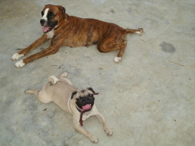 Boxer and Pug, Boxer and Pug, DogSpot.in