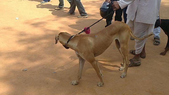 bangalore dog show photos, Brown Mudhol Hound, DogSpot.in