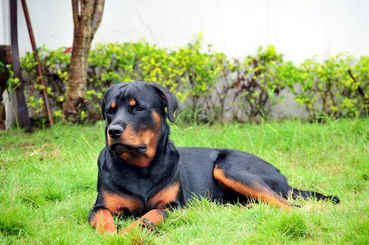 ,,,, Bulu (Ivanhoe), DogSpot.in