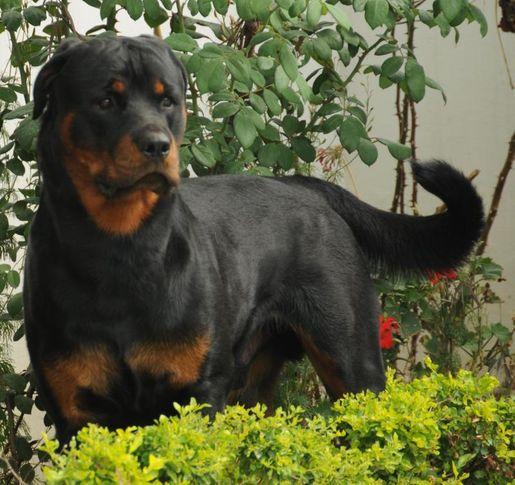 bulu ivanhoe, Bulu (Ivanhoe), DogSpot.in