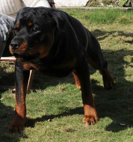 , Bulu (Ivanhoe), DogSpot.in
