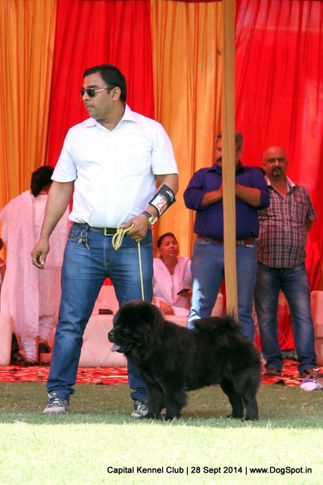 chow chow,ex-26,sw-128,, TIGER, Chow Chow, DogSpot.in