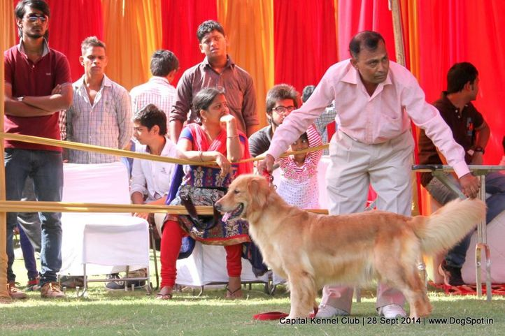 golden retriever,sw-128,, Capital Kennel Club - 2014 , DogSpot.in