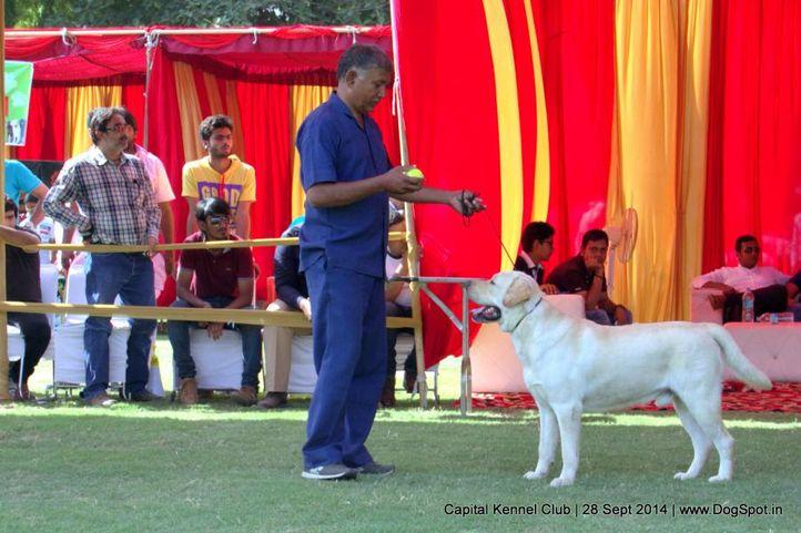 lab,labrador retriever,sw-128,, Capital Kennel Club - 2014 , DogSpot.in