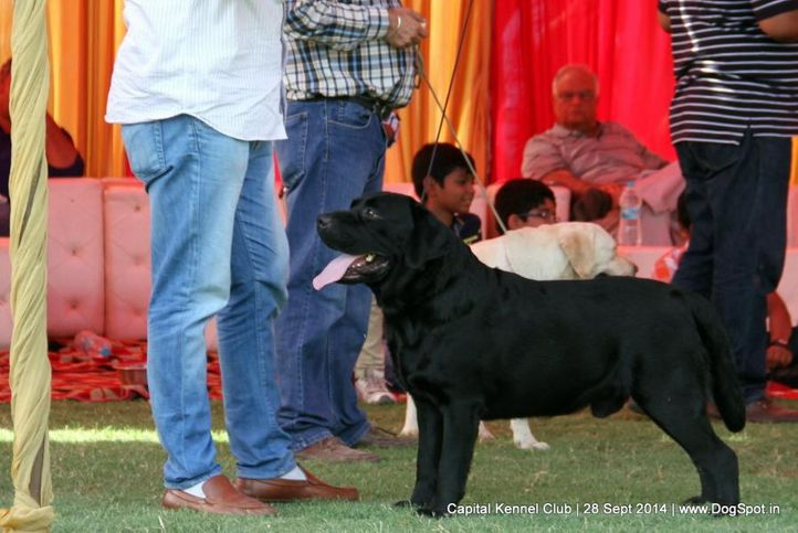 lab,labrador retriever,sw-128,, Capital Kennel Club - 2014 , DogSpot.in