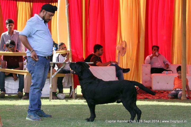 ex-165,lab,labrador retriever,sw-128,, Capital Kennel Club - 2014 , DogSpot.in
