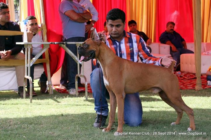 boxer,sw-128,, Capital Kennel Club - 2014 , DogSpot.in