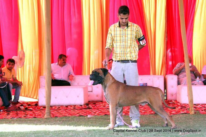 bull mastiff,bullmastiff,ex-78,sw-128,, SHANKY S SHOW MUST CONTINUE, Bullmastiff, DogSpot.in