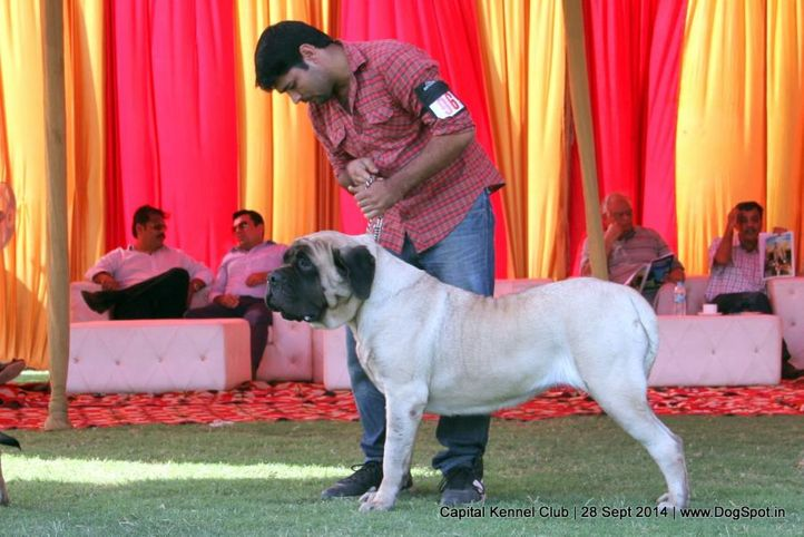 english mastiff,ex-96,sw-128,, SIETEMAR TEX LEOTIE, Mastiff- English, DogSpot.in