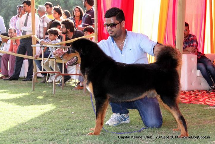ex-134,sw-128,tibetan mastiff,tm,, Gumtala's Boy, Tibetan Mastiff, DogSpot.in