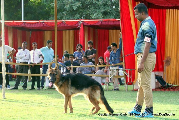 ex-142,gsd,sw-128,, JONSON, German Shepherd Dog, DogSpot.in