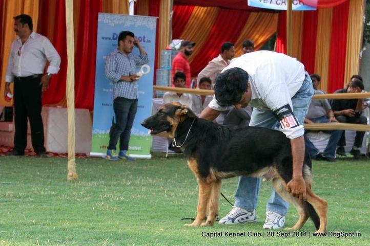 ex-139,gsd,sw-128,, SIMA, German Shepherd Dog, DogSpot.in
