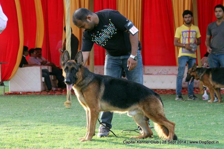 ex-144,gsd,sw-128,, DEEPSLINE'S PACCO, German Shepherd Dog, DogSpot.in