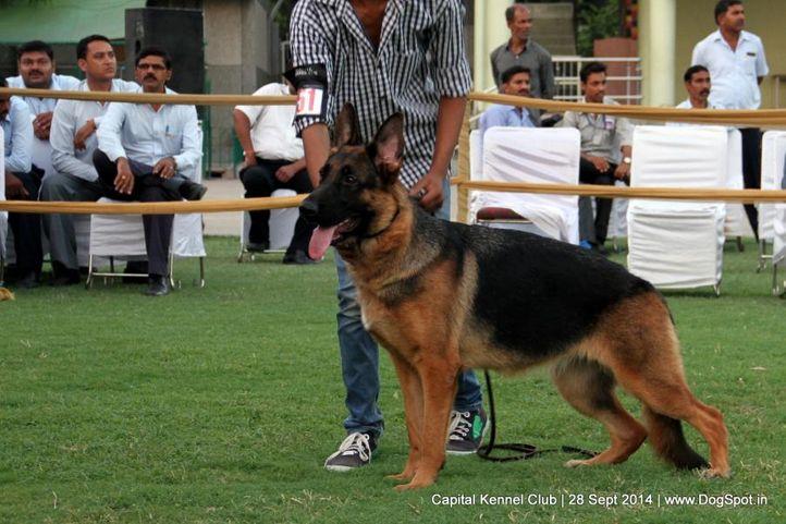 ex-151,gsd,sw-128,, JERRI, German Shepherd Dog, DogSpot.in