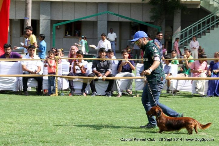 dachshund standard- wire haired,sw-128,, Capital Kennel Club - 2014 , DogSpot.in