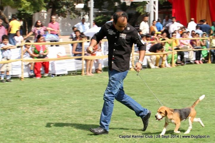 beagle,sw-128,, Capital Kennel Club - 2014 , DogSpot.in