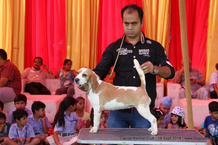 beagle,ex-41,sw-128,, BLUE BELL'S RED RING, Beagle, DogSpot.in