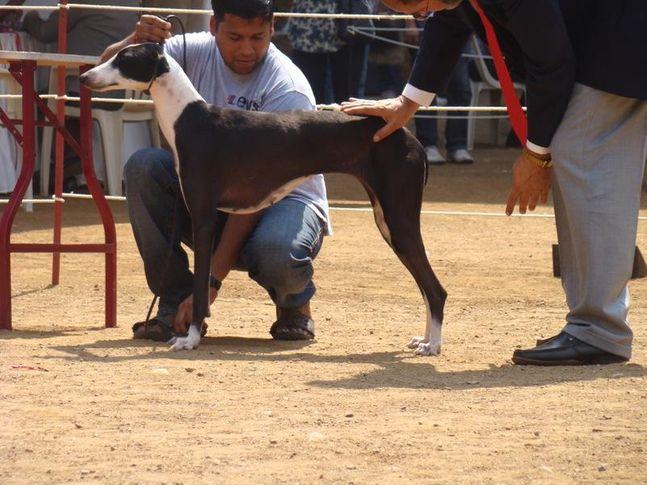 caravan hound dogs, Caravan Hound Dogs, DogSpot.in