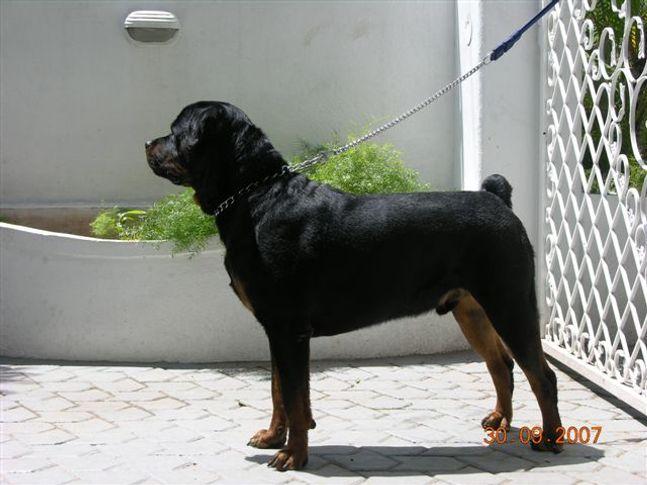 , CH SAYMON PROGENY, DogSpot.in