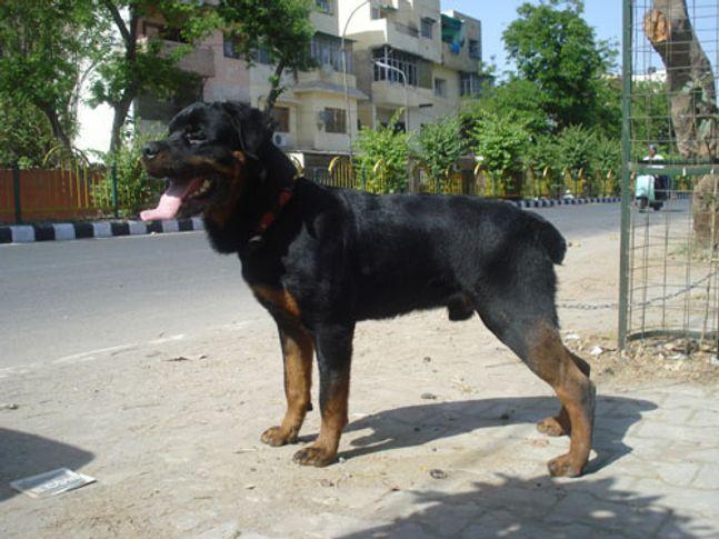 ,,, CH SAYMON PROGENY, DogSpot.in