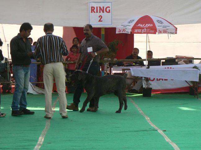my champion kci male neopolitan mastiff, My Champion (KCI) male Neopolitan Mastiff., DogSpot.in