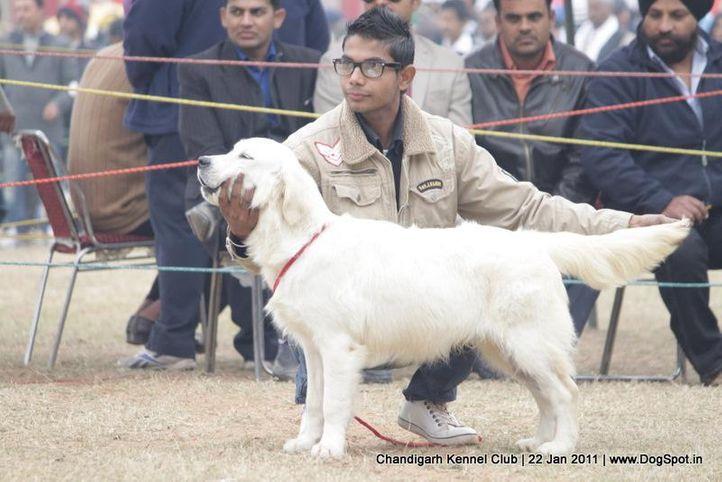 golden,sw-50,, Chandigarh 2012, DogSpot.in