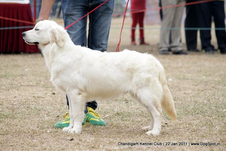 ex-110,golden,sw-50,, SNOWFLAKES A GAME TO REMEMBER, Golden Retriever, DogSpot.in