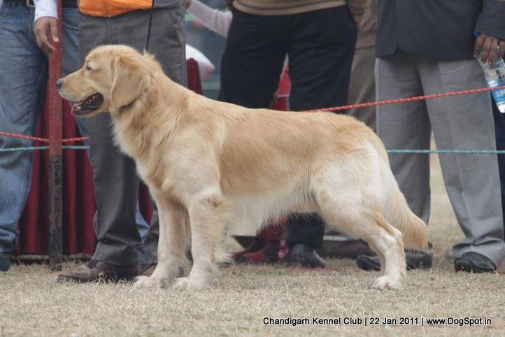 ex-116,golden,sw-50,, HOLLYKINS SEKHON CSI, Golden Retriever, DogSpot.in