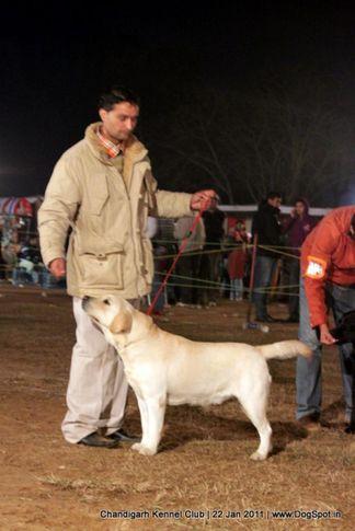labrador,sw-50,, Chandigarh 2012, DogSpot.in