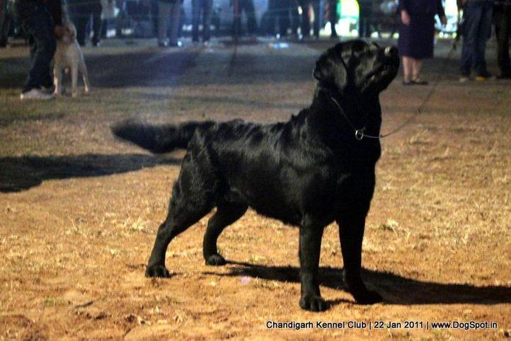 ex-151,labrador,sw-50,, SUNEHABEE 'BAY BERRY, Labrador Retriever, DogSpot.in