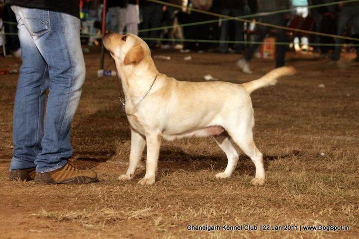 ex-174,labrador,sw-50,, SKY LARK OF SUNNYLAND, Labrador Retriever, DogSpot.in