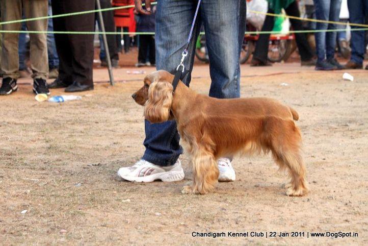 cocker,sw-50,, Chandigarh 2012, DogSpot.in