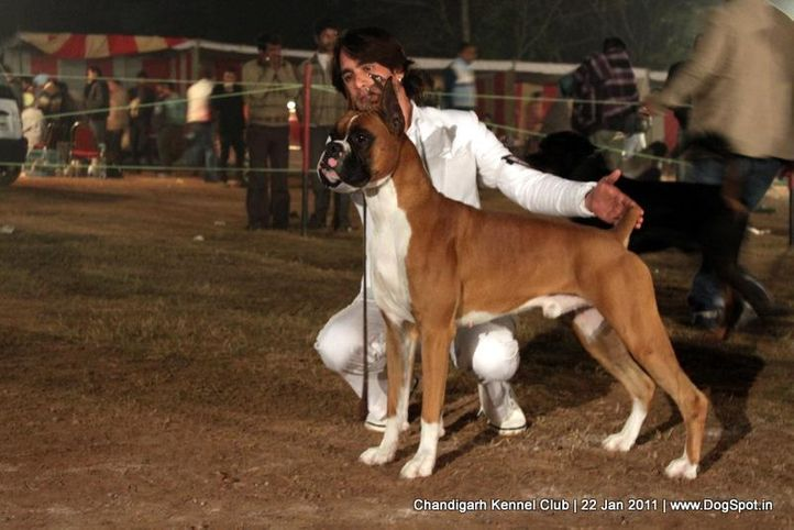 boxer,ex-201,sw-50,, CHESSEL'S N HAPPY TAIL'S THX THE GOD FATHER, Boxer, DogSpot.in