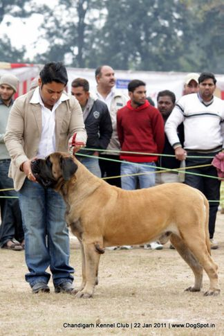 mastiff,sw-50,, Chandigarh 2012, DogSpot.in