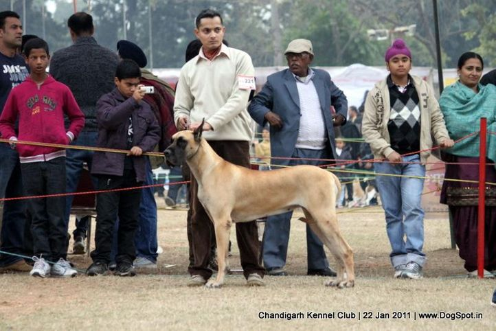 ex-221,great dane,sw-50,, R N JADOLINES COMING IN THE AIR TO NIGHT, Great Dane, DogSpot.in
