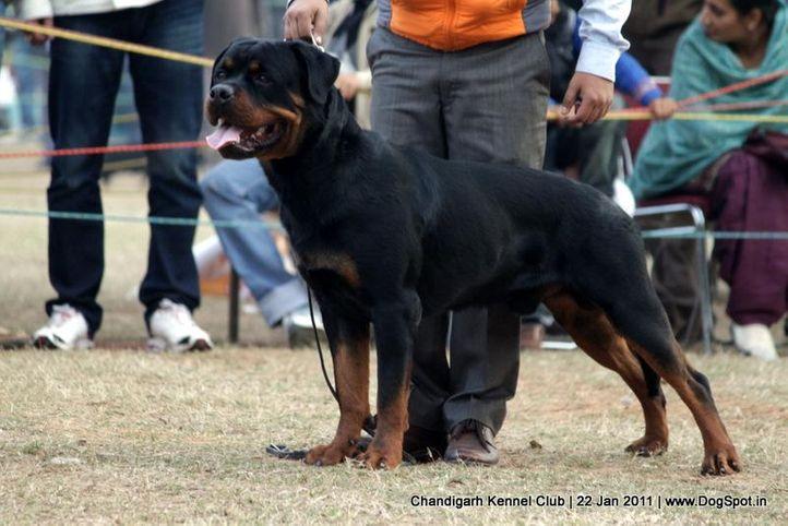 ex-242,rottweiler,sw-50,, GIVO OF CARNIVOS, Rottweiler, DogSpot.in