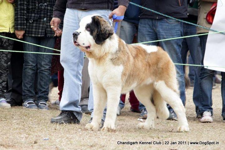 st bernard,sw-50,, Chandigarh 2012, DogSpot.in