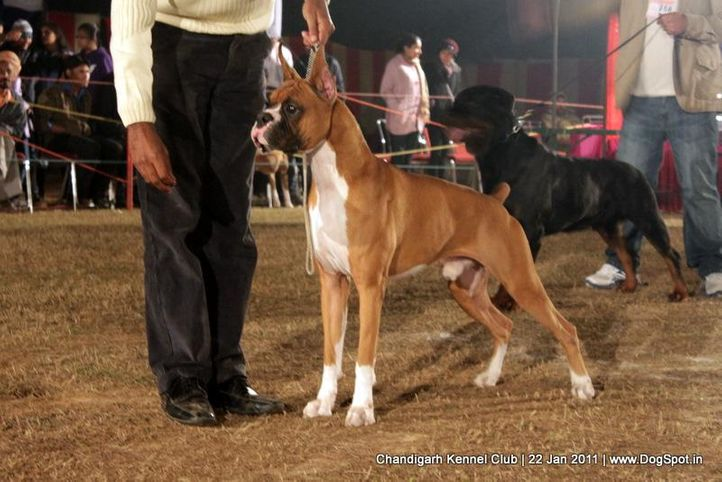 boxer,ex-199,sw-50,, WALGRE'S RED ROCK, Boxer, DogSpot.in