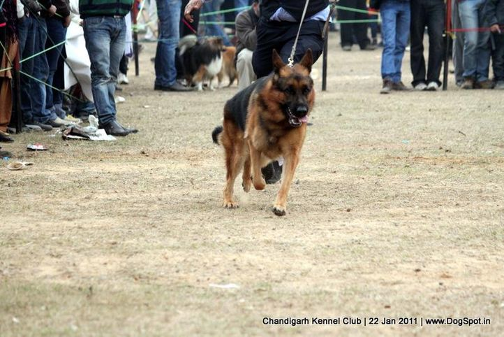 ex-274,gsd,sw-50,, Colt Hui Chang, Tibetan Mastiff, DogSpot.in