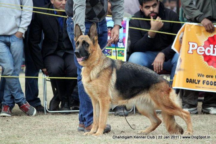 ex-294,gsd,sw-50,, XANA VOM TEAM FIEMERECK, German Shepherd Dog, DogSpot.in