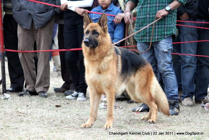 ex-296,gsd,sw-50,, FAMI OF DADHWAL, German Shepherd Dog, DogSpot.in