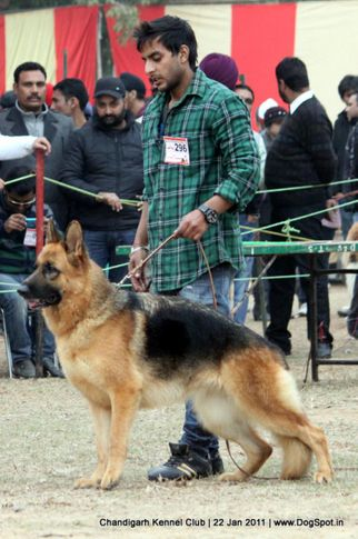 ex-296,gsd,sw-50,, FAMI OF DADHWAL, German Shepherd Dog, DogSpot.in