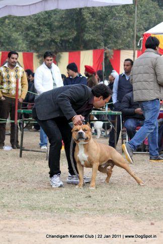 sw-50,terrier,, Chandigarh 2012, DogSpot.in