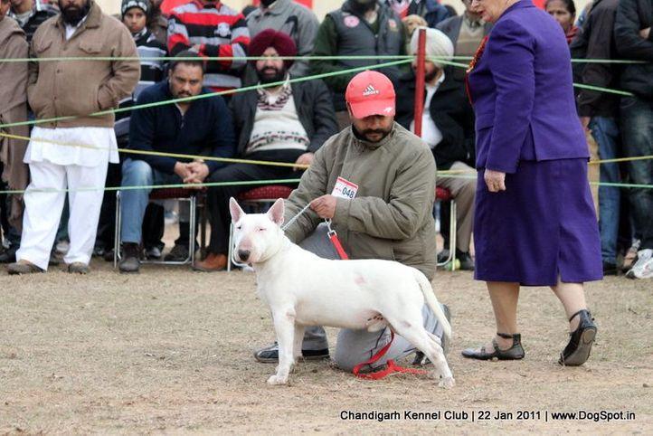 ex-48,sw-50,terrier,, HIMSTEEL'S JOHN, Bull Terrier, DogSpot.in