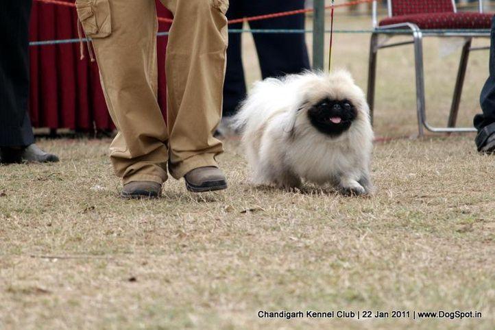 pekingese,sw-50,toy,, Chandigarh 2012, DogSpot.in
