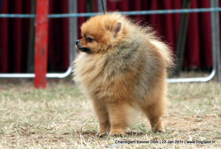 ex-11,pom,sw-50,toy,, CUTE BOY OF NAAZ, Pomeranian, DogSpot.in