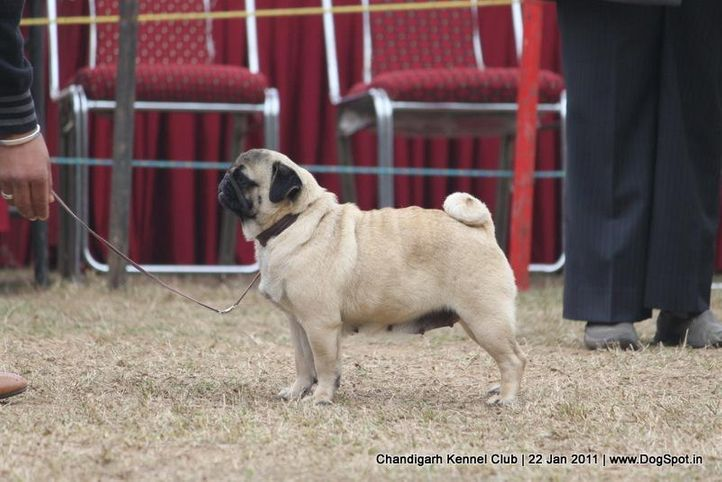 pug,sw-50,, Chandigarh 2012, DogSpot.in