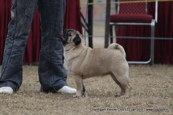 pug,sw-50,, Chandigarh 2012, DogSpot.in